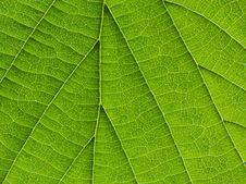 Free Biological Texture Of The Leaf Stock Image - 24750471