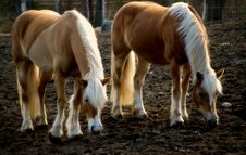Free Haflinger II Royalty Free Stock Images - 24755429