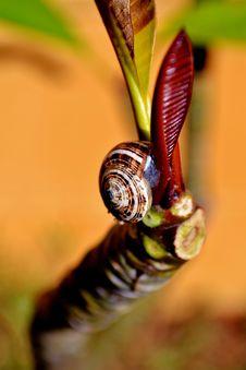 Snail On Frangipani Royalty Free Stock Images