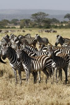Free Great Migration Time Royalty Free Stock Image - 24757636