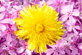 Free Yellow Dandelion On Pink Stock Images - 24765204