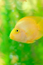Free Gold Parrot Fish In Aquarium Stock Images - 24766334