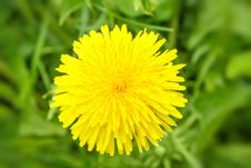 Free Yellow Dandelion On A Green Background Stock Photography - 24765202