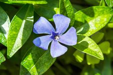 Free Periwinkle Growing In The Meadow Stock Images - 24765234