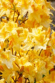 Free Yellow Azalea Rhododendron Flowers In Full Bloom Royalty Free Stock Photo - 24765235