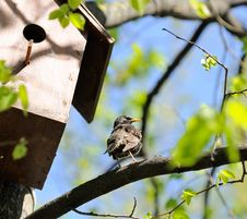 Free Starling Sitting On Tree Near Birdhouse Stock Photography - 24766272