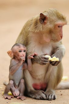 A Monkey S Mother Royalty Free Stock Photos