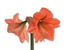 Flower Hippeastrum &x28; Amaryllis&x29; Stock Photos