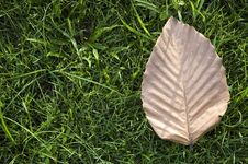 Free Brown Leaf On Grass Royalty Free Stock Image - 24769736