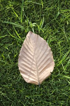 Free Dried Leaf On Grass Royalty Free Stock Photography - 24769767