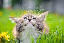 Free Little Cat - Maine Coon Stock Photography - 24774752