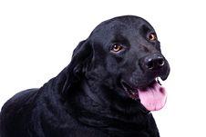 Free Black Labrador Stock Image - 24775061