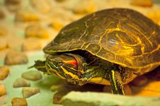 Free Red-eared Slider Stock Photo - 24775070