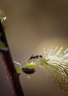 Free Ant Walks On Pussy Willow Stock Images - 24776084