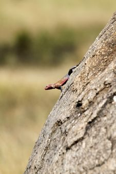 Red-headed Rock Agama Lizard Stock Images