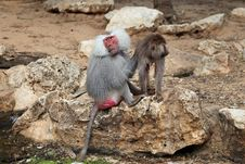 Free Baboon With Baby Royalty Free Stock Photography - 24778227