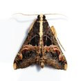 Free Hairy Moth With Large Wings And Serrated Antennae Stock Image - 24782571