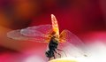 Free Pretty Yellow Winged Dragonfly With Red Background Royalty Free Stock Image - 24783236