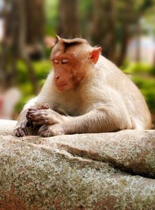 Free Indian Macaque Monkey In Forest With Eyes Closed Stock Image - 24782191