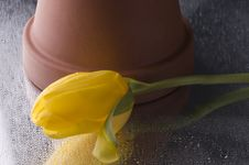Free Spring  Yellow Tulip  Blossom On Grey  Background Stock Photos - 24789823
