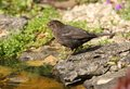 Free Blackbird Stock Photos - 24791873