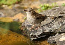 Free House Sparrow Stock Photo - 24791910