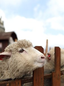 Free Smile Sheep Royalty Free Stock Images - 24792459