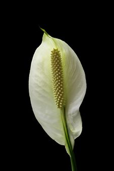 Free White Anthurium Royalty Free Stock Photography - 24792767