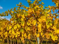 Vineyard At Sunset Royalty Free Stock Photo