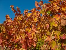 Red Vineyard Foliage Stock Photography