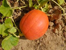 Free Pumpkin On The Vine Royalty Free Stock Photo - 24794495