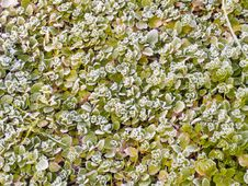 Free Frosty Leaves Royalty Free Stock Image - 24794636