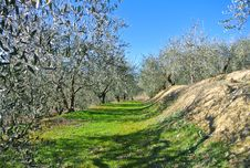Free Olive Plants In Tuscany Royalty Free Stock Photography - 24794847
