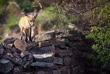 Free Fox On Wall Stock Photography - 24798312