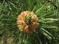 Free Flowering Pine-tree 2 Royalty Free Stock Photo - 2480575