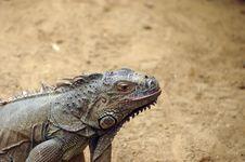 Free Iguana Royalty Free Stock Photo - 2480275