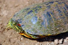 Free Red-eared Slider Stock Images - 2480314
