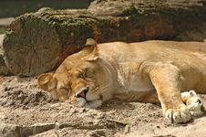 Free Lioness Resting Royalty Free Stock Photo - 2480345