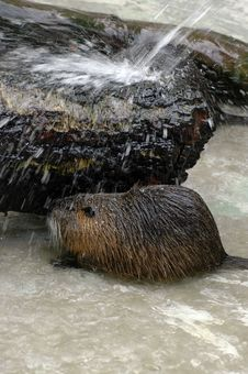 Free Beaver Bathing Royalty Free Stock Photo - 2480395