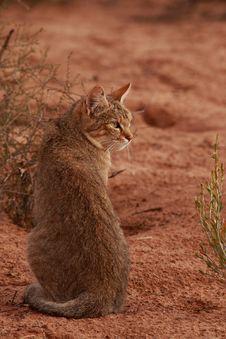 Free African Wildcat (Felis Lybica) Royalty Free Stock Image - 2481086