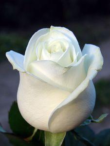 Free Rose Stock Photos - 2481283