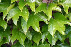 Free Parthenocissus Tricuspidata Stock Photo - 2481340