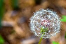 Free Dandelion Seeds Royalty Free Stock Image - 2481786