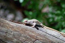 Free Lizard On A Log Royalty Free Stock Photo - 2482165