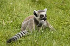 Free Ring Tailed Lemur III Royalty Free Stock Photography - 2482317
