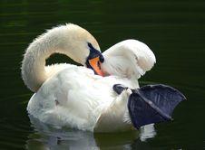 Free Swan Stock Photography - 2482342