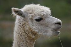 Free Lama Royalty Free Stock Photography - 2482737