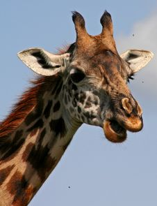 Free Profile Of Giraffe Eating Stock Images - 2482814