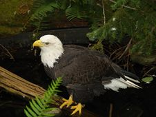 Free Bald Eagle On Log Royalty Free Stock Image - 2483326