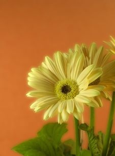 Free Yellow Gerber Daisies Stock Photography - 2483712